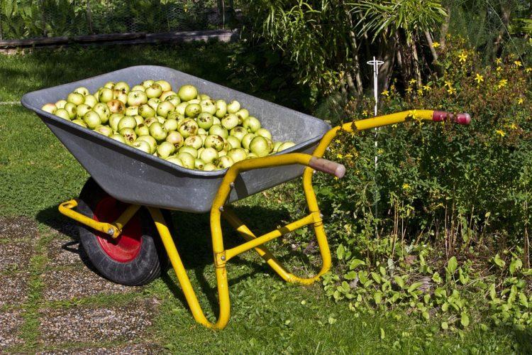 Aufgesammelte Äpfel mit Rollsammler