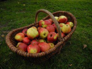 Äpfel für Apfelsaft